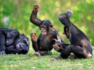 les-chimpanzes-de-bossou-raffolent-du-vin-de-palme_620x465